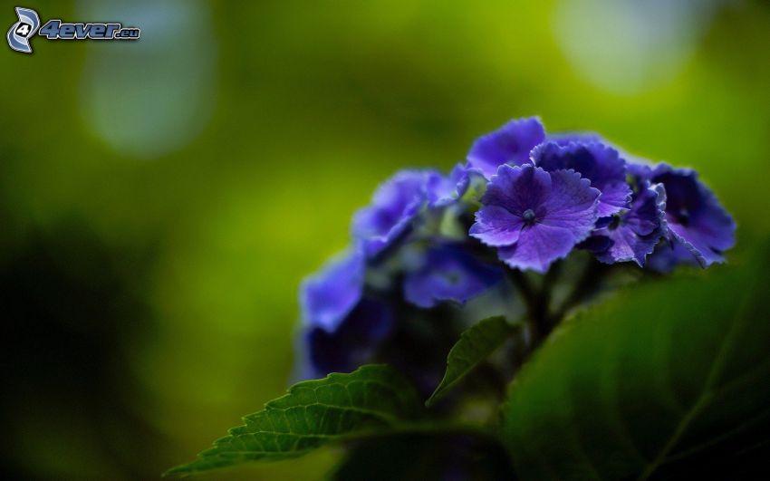 hortensia, flor azul