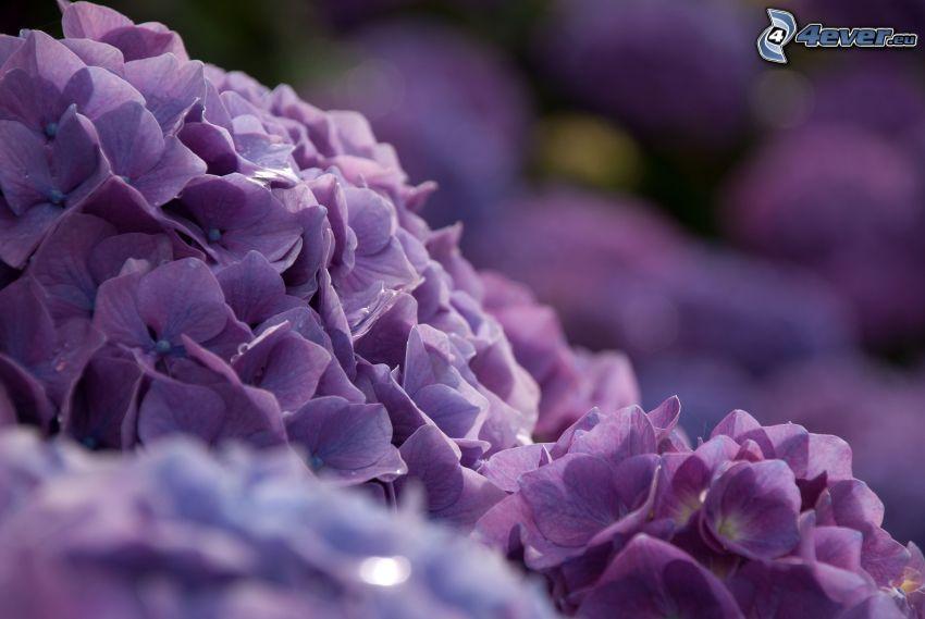 hortensia, flor púrpura