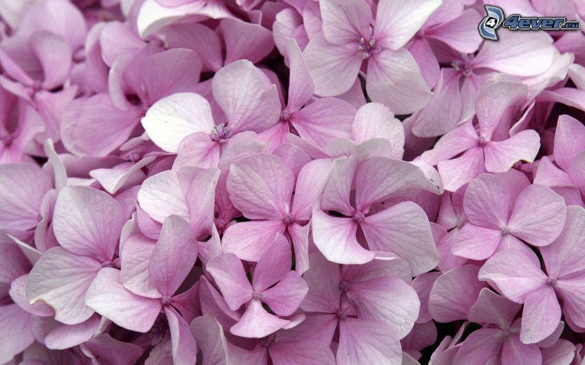hortensia, flores de color rosa
