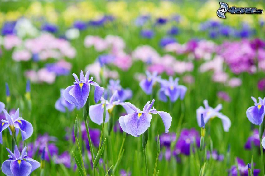 iris, flores de coolor violeta