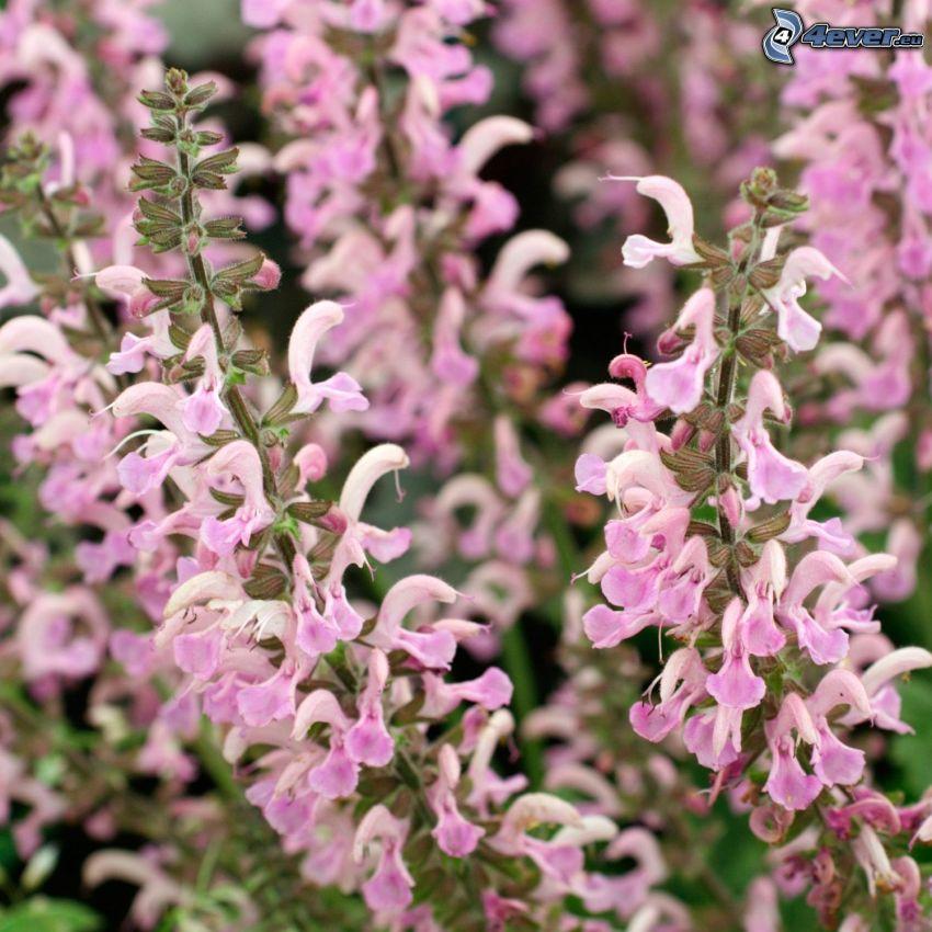 La esclárea, flores de color rosa