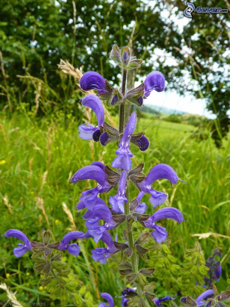 La esclárea, flores de coolor violeta, hierba, árboles