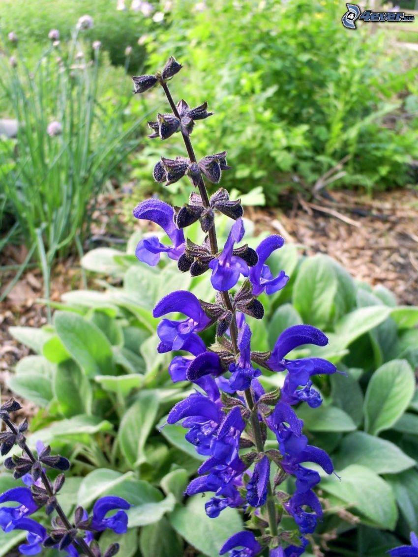 La esclárea, flores de coolor violeta, hojas verdes