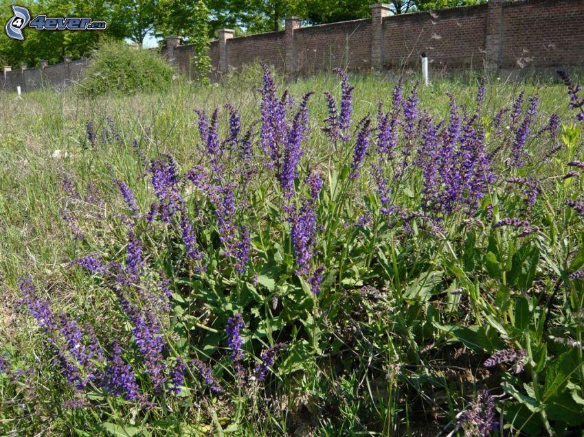 La esclárea, flores de coolor violeta, muro