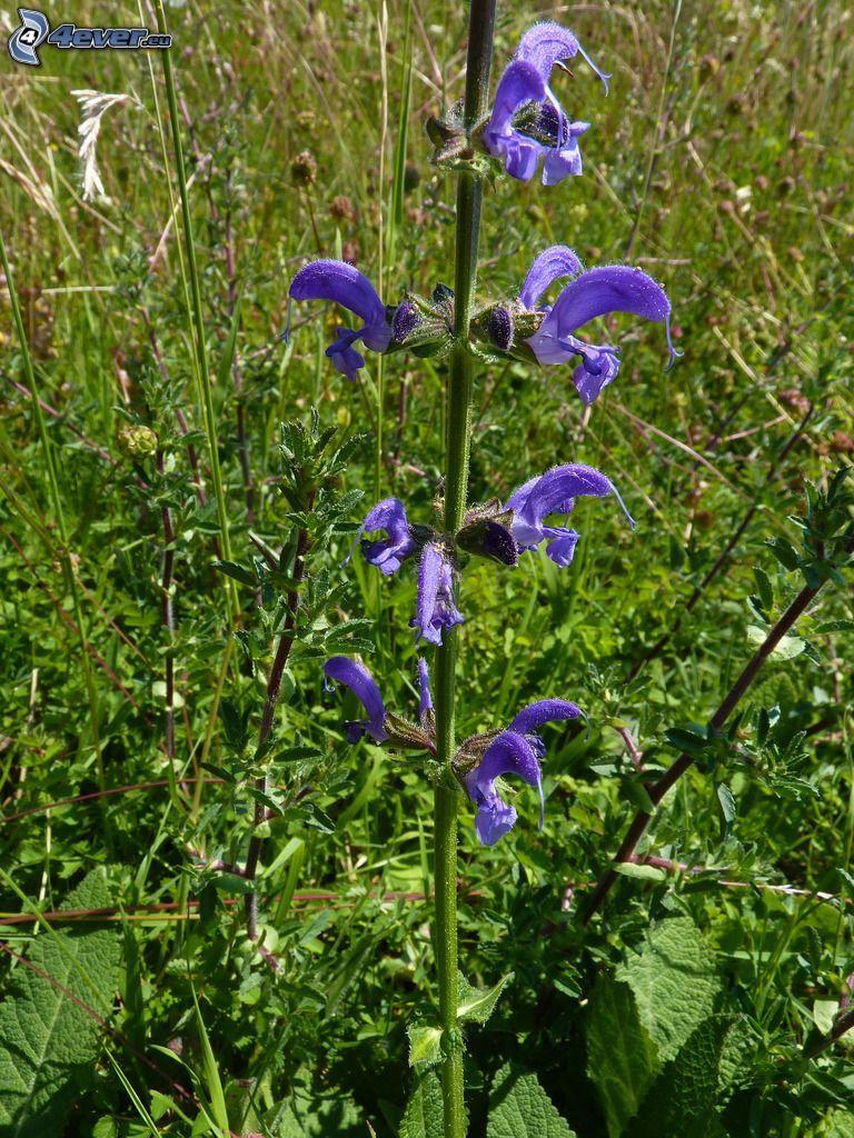 La esclárea, flores de coolor violeta, prado