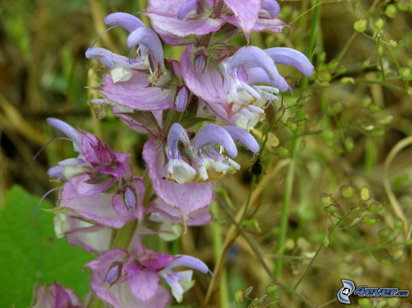 La esclárea, flores de coolor violeta