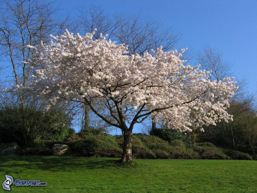 la floración de árboles, césped