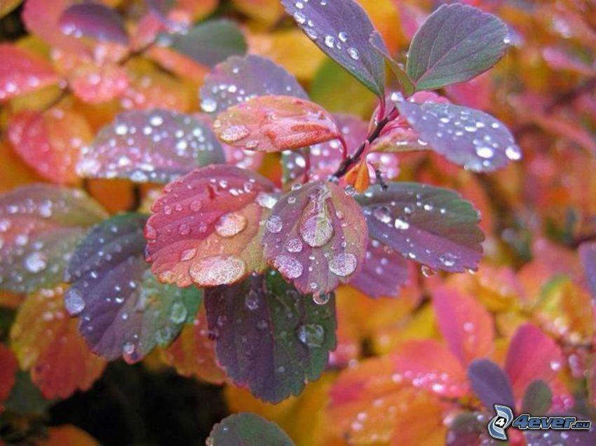 las hojas coloradas, gotas de agua