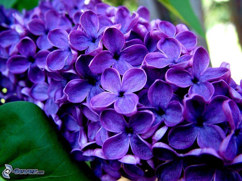 lila, flor púrpura