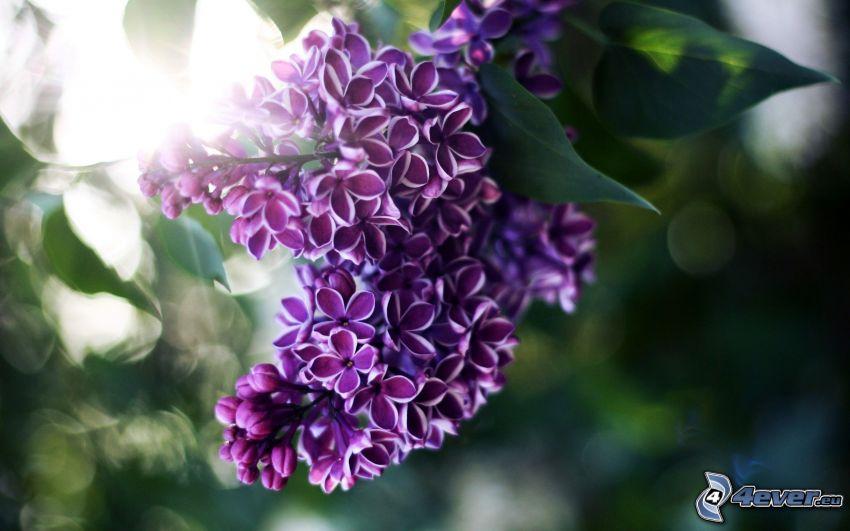 lila, flores de coolor violeta