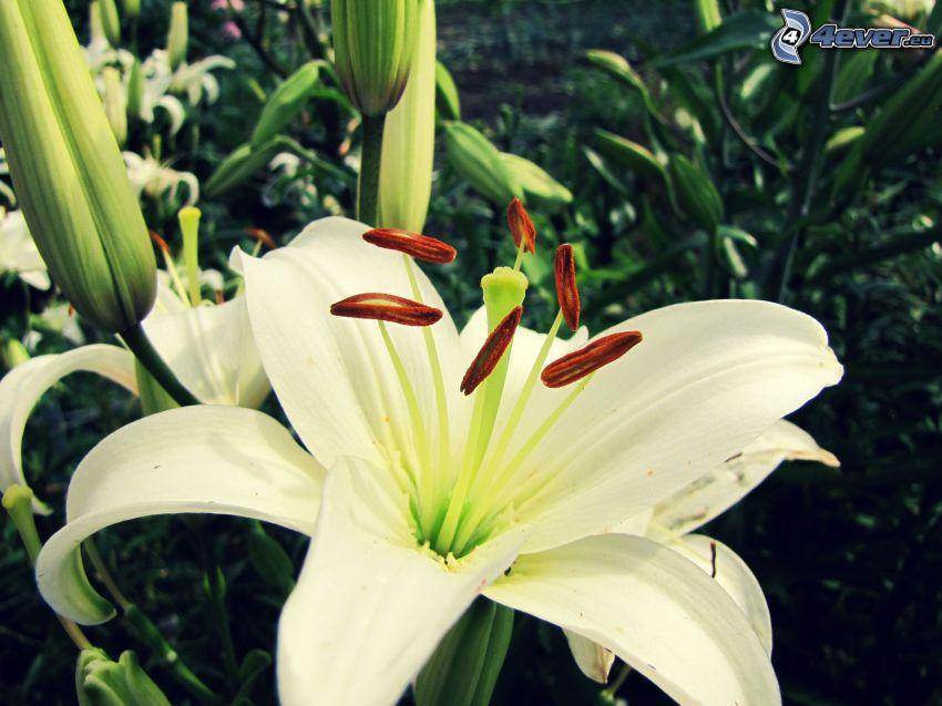 lirio, flor blanca