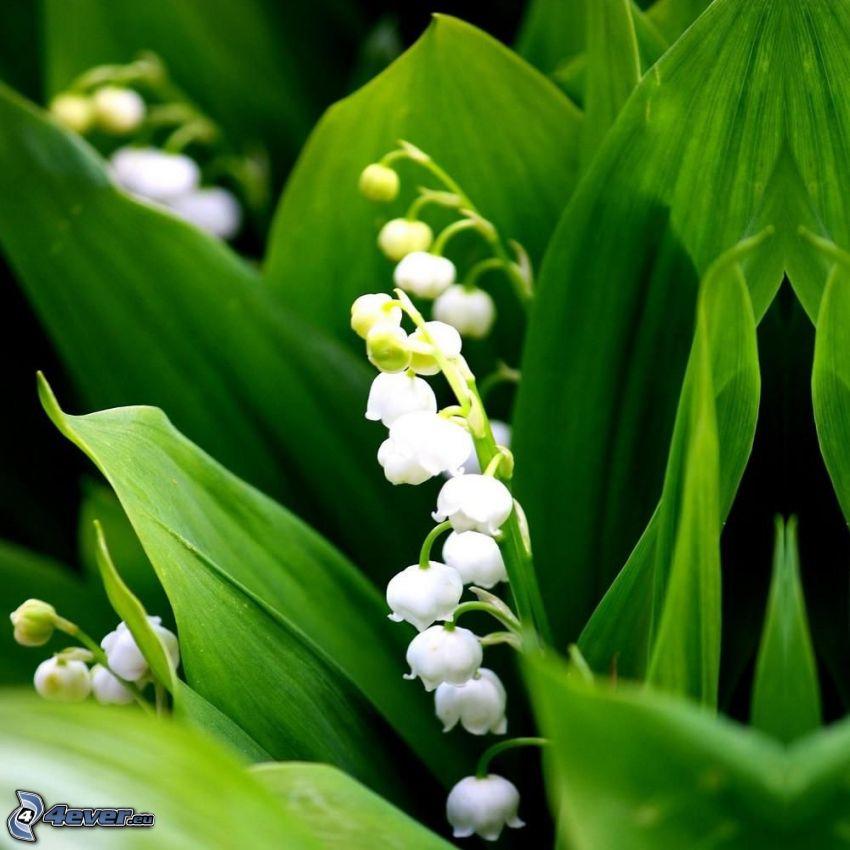lirio de los valles, hojas verdes