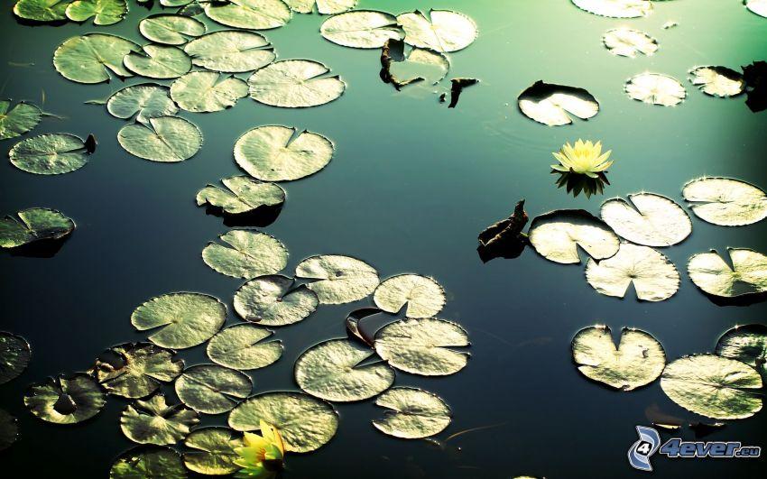lirios de agua, estanque