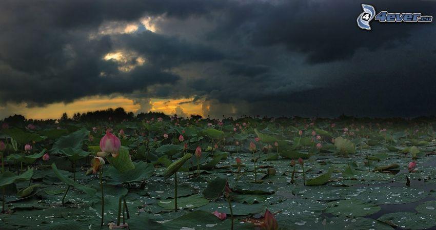 lirios de agua, nubes, atardecer oscuro