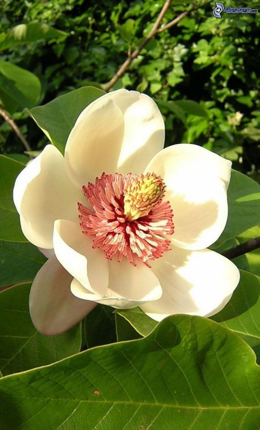 magnolia, flor blanca