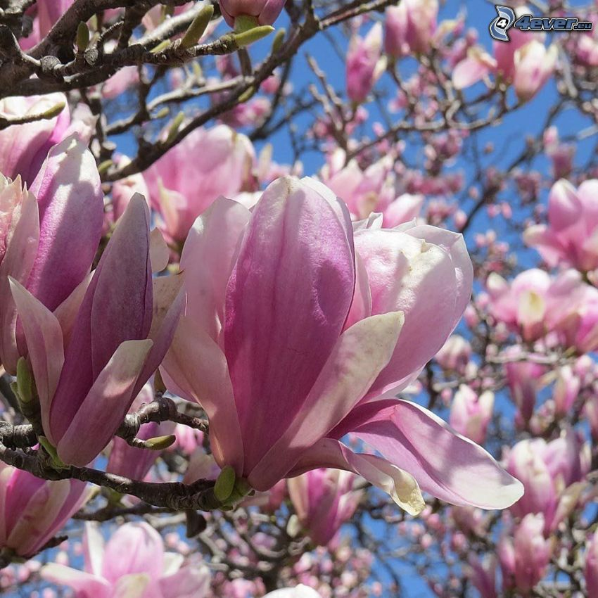 magnolia, flor rosa
