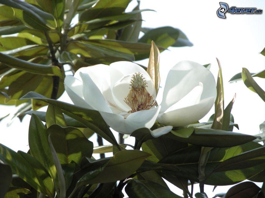 magnolia, flores blancas