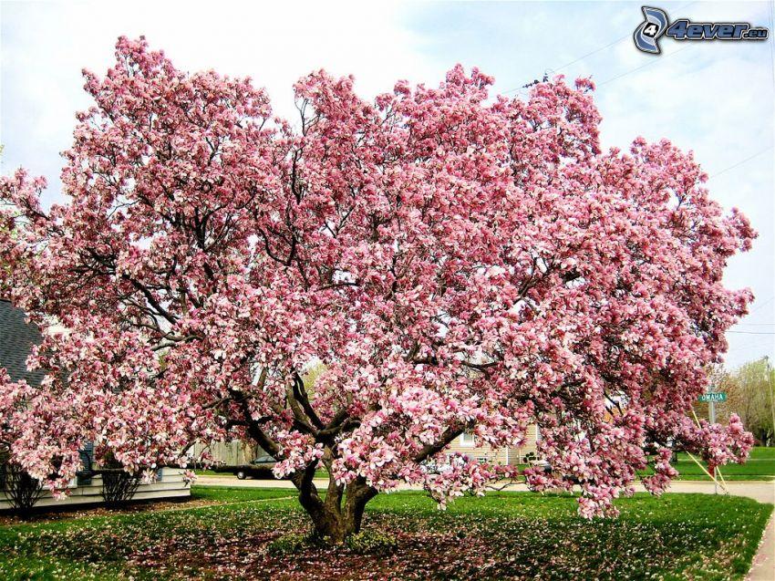 magnolia, flores de color rosa