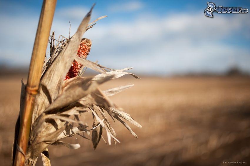 maíz seco, campo
