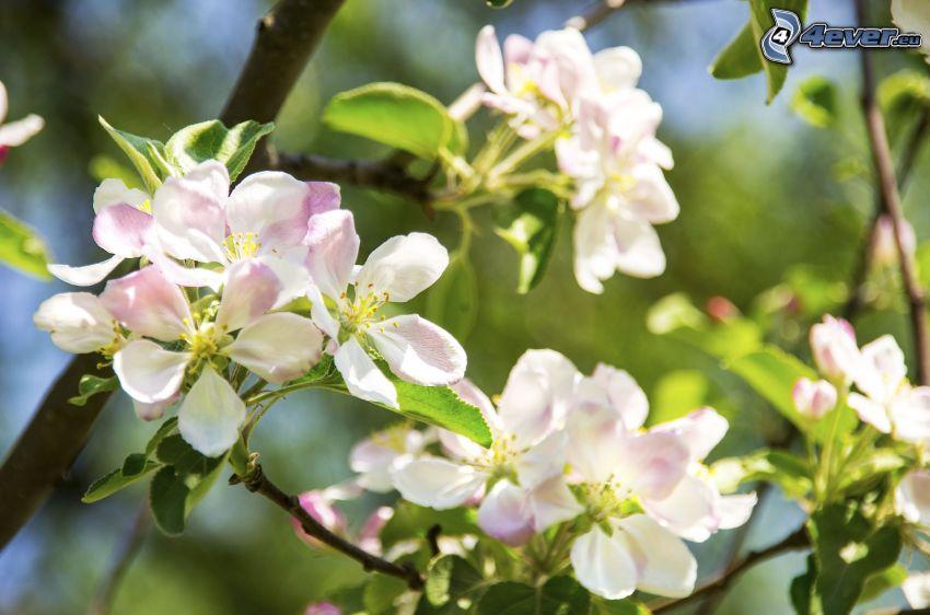 manzano silvestre de floración