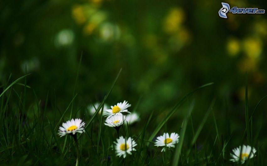 margaritas, paja de hierba
