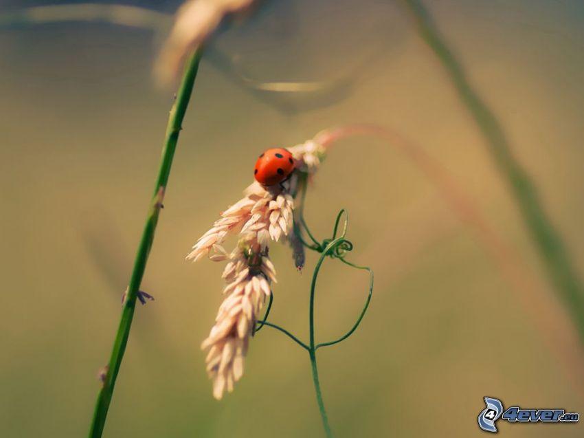 mariquita, paja de hierba