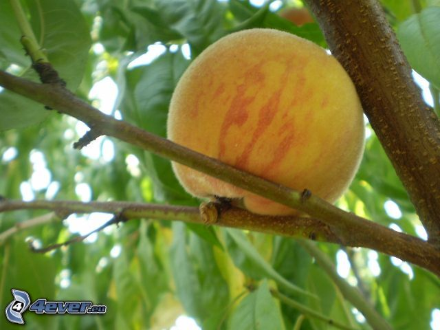 melocotón, rama, hojas