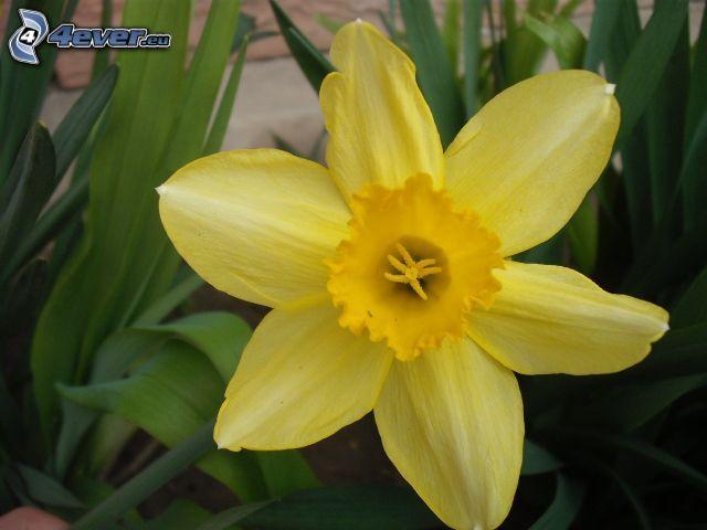 narciso, flor amarilla