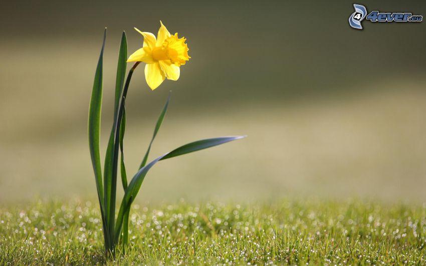 narciso, hierba