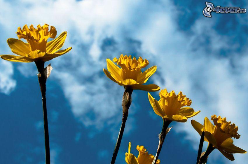 narcisos, flores amarillas, cielo
