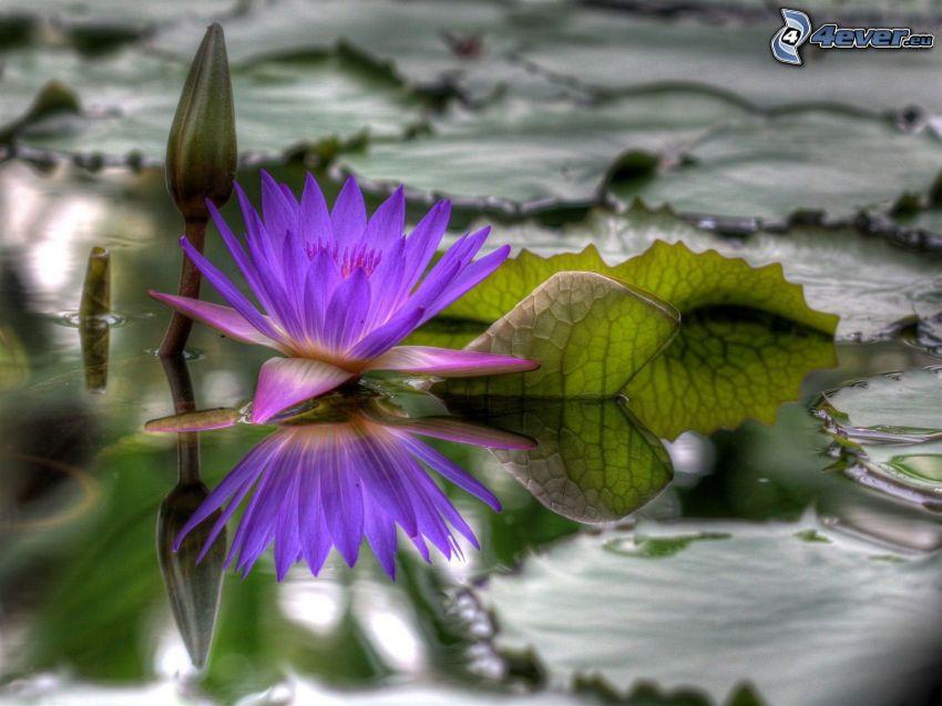 nenúfar, flor púrpura, agua