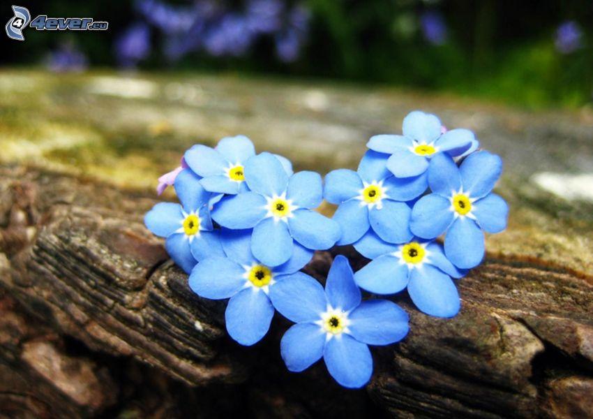 nomeolvides, flores de color azul, corazón, corteza de árbol