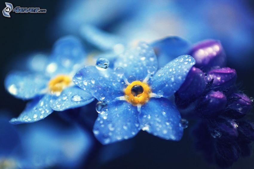 nomeolvides, rocío en la flor, flores de color azul