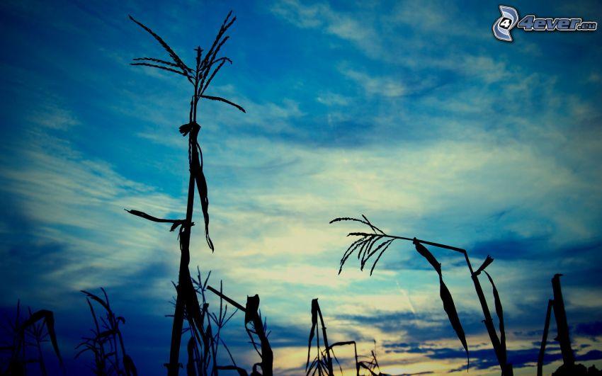 paja de hierba, cielo azul