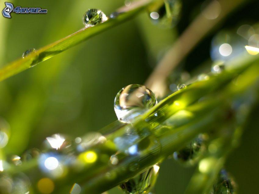 paja de hierba, gotas de lluvia, macro
