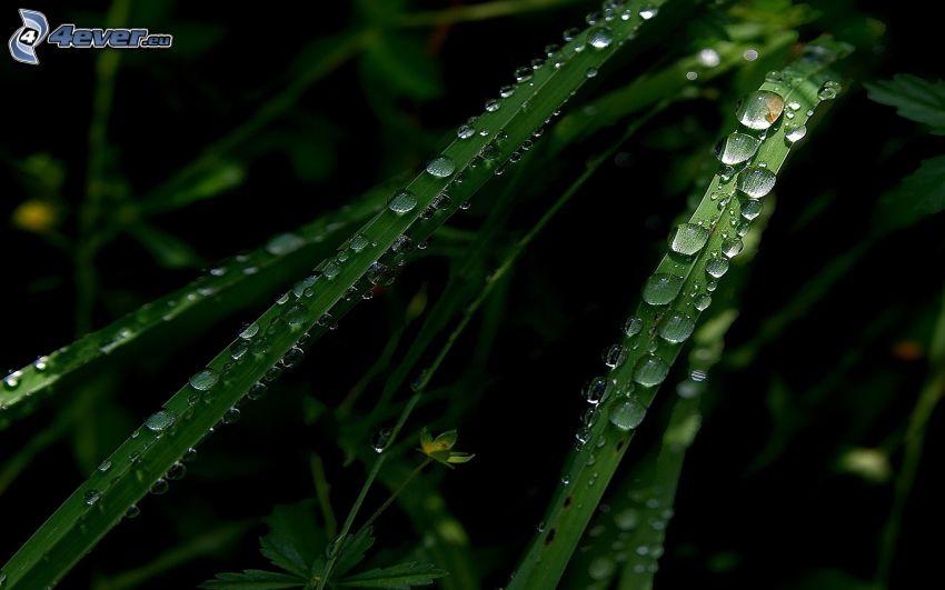 paja de hierba, gotas de lluvia