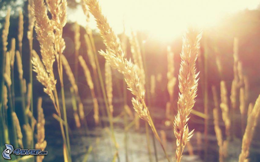 paja de hierba, puesta del sol