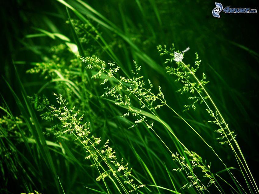 paja de hierba, verde
