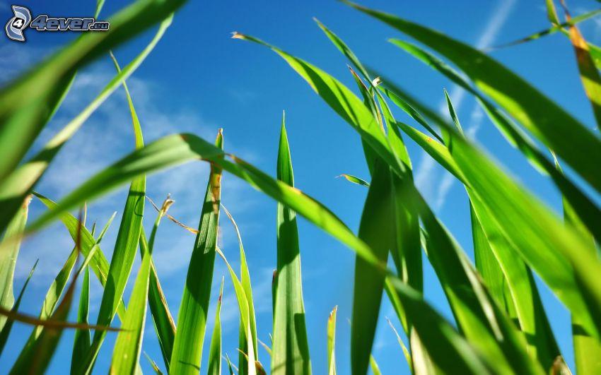 paja de hierba