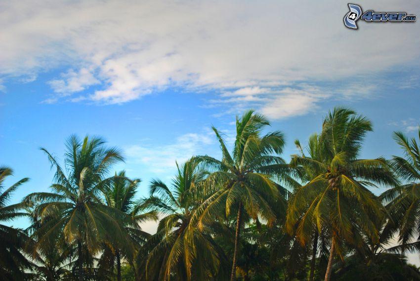 palmera, nube