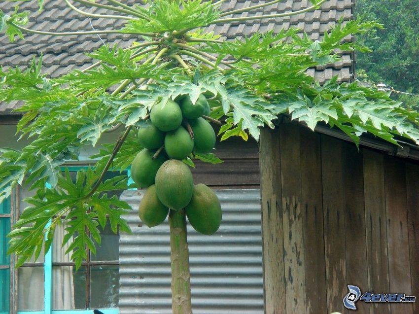 papaya, casa