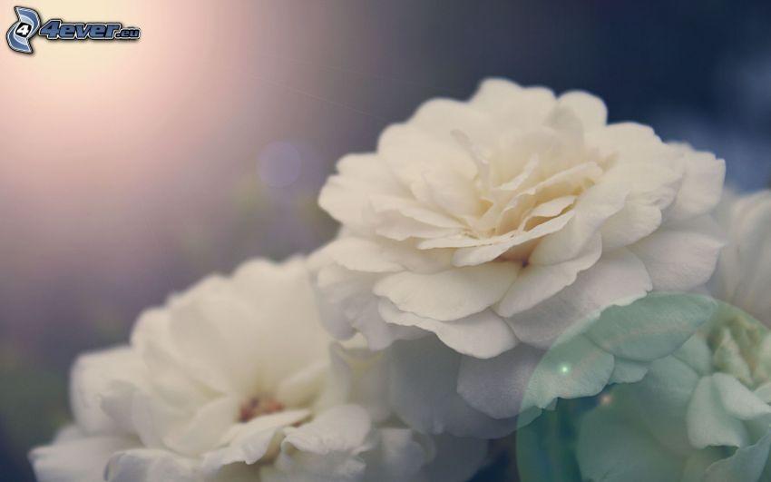 peonía, flores blancas