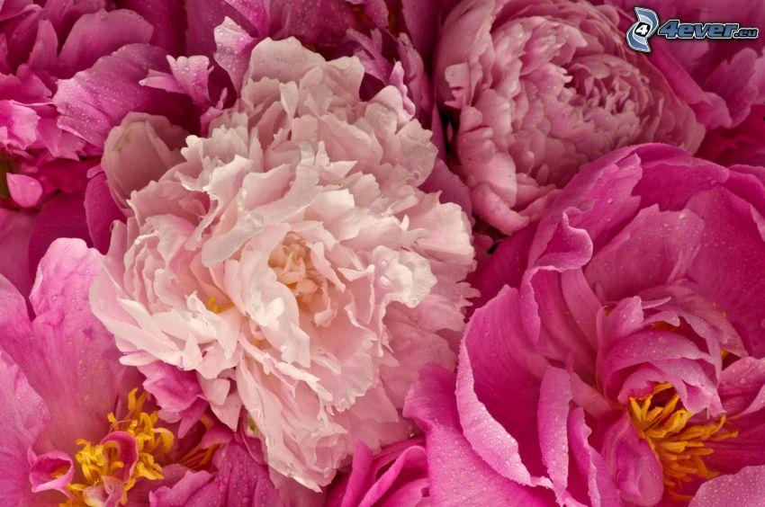 peonía, flores de color rosa