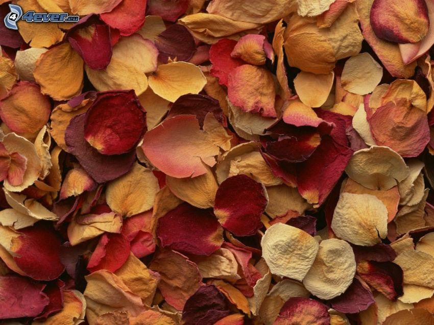 pétalos de rosa, hojas secas