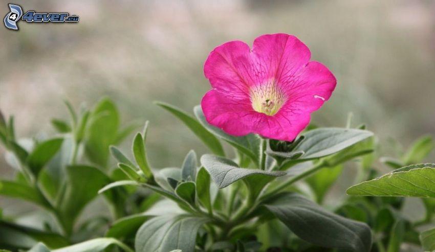 petunia, flor púrpura