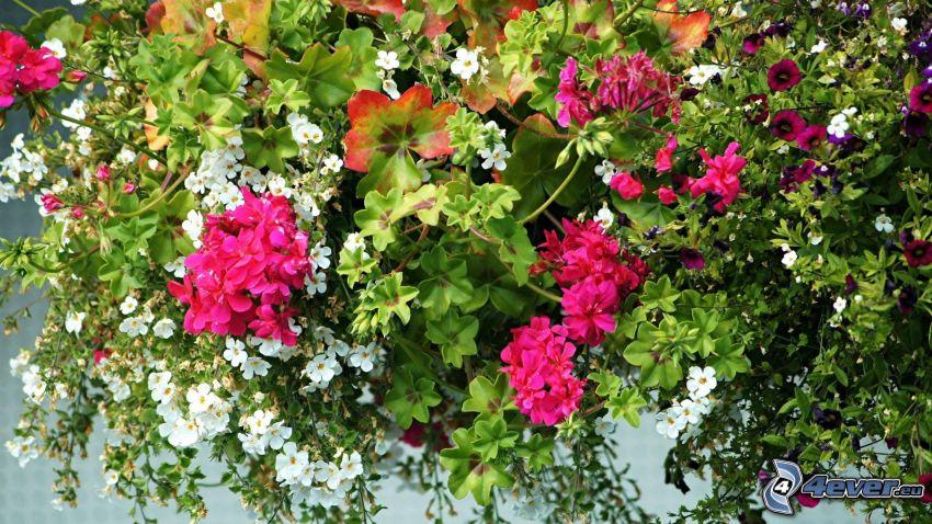 petunia, flores de color rosa, flores blancas