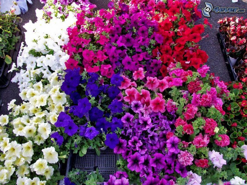 petunia, flores de coolor violeta, flores blancas, flores rojas