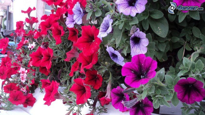 petunia, flores de coolor violeta, flores rojas