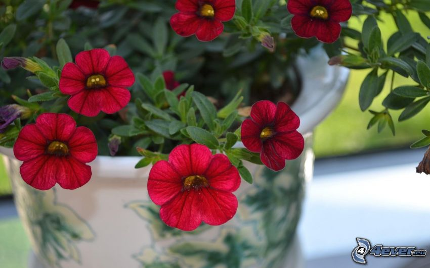 petunia, flores rojas