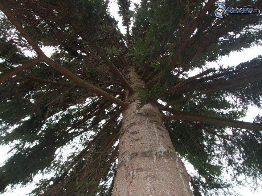 pícea, árbol, ramas de hoja perenne, tribu